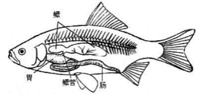 朝阳木工培训学校再谈石首鱼鱼鳔被当神药售出天价 价格贵过毒品可卡